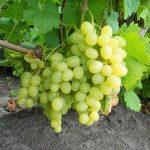 vinograd russkii yantar