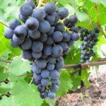 vinograd severnii sladkii