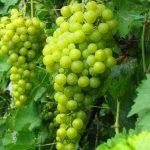 vinograd yantarnyi