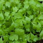cress - salat