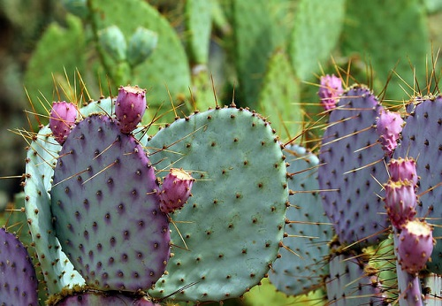 opuncia kaktus v sadu