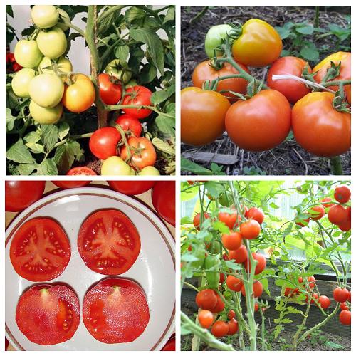 tomat Sanka