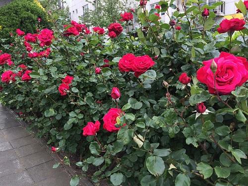 uhod za rozoi