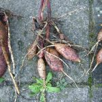 репа семена лучшие сорта