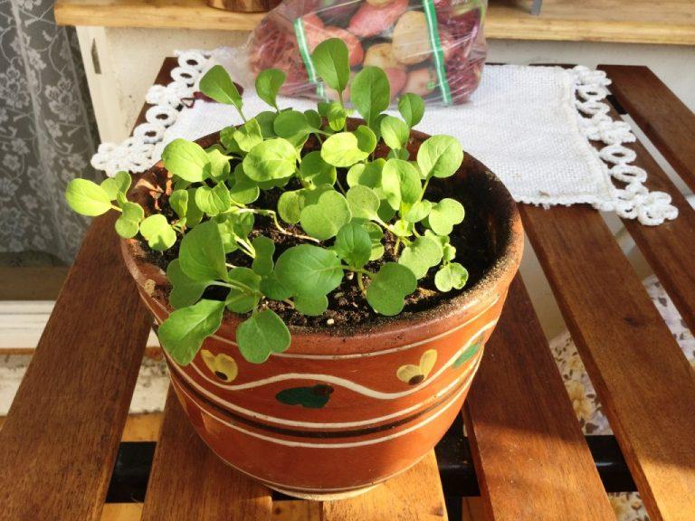 семена черри для подоконника