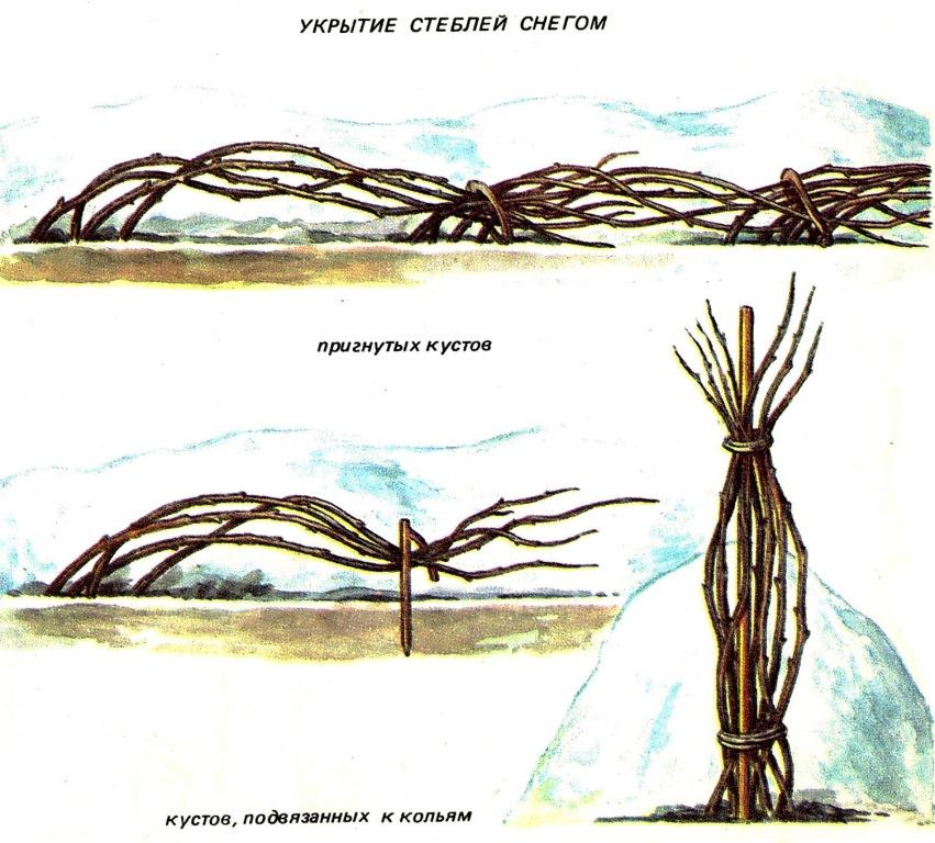 укрытие малины на зиму картинки