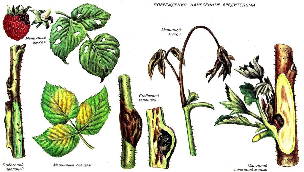 вредители малины рисунок