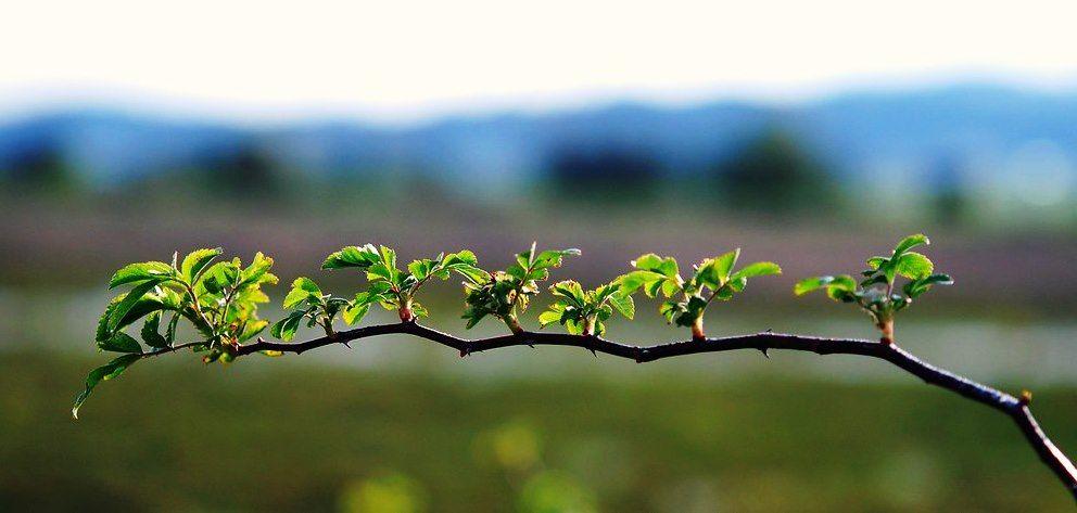 ежевика весной фото