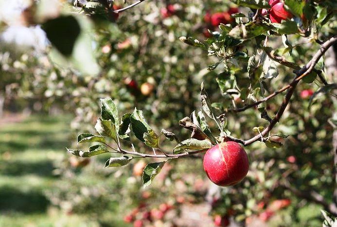 посадка яблони айдаред
