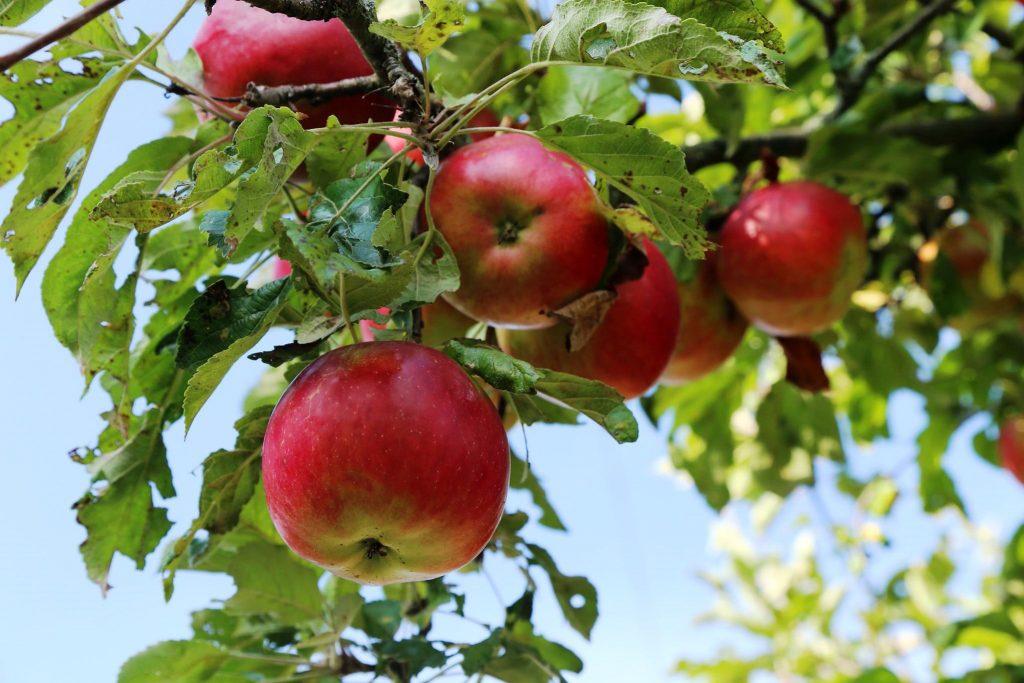 уход за яблони айдаред