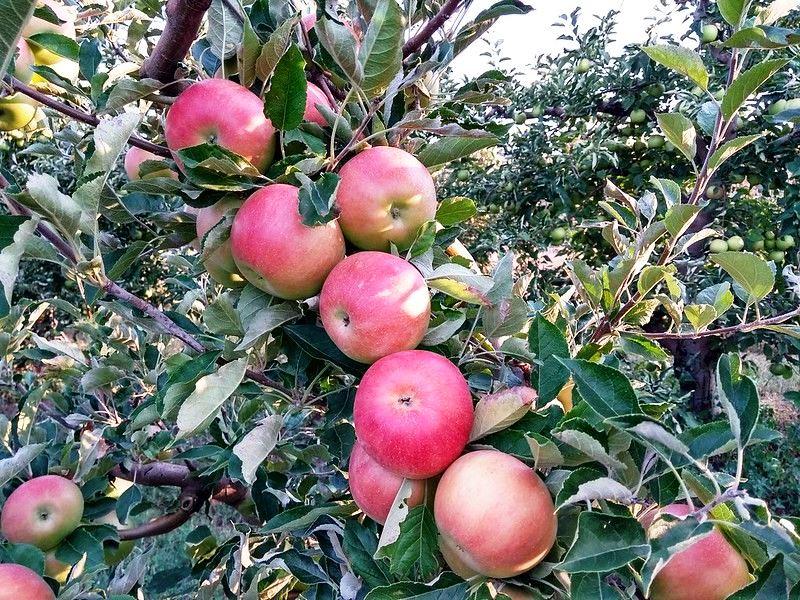 яблони айдаред отзывы садоводов