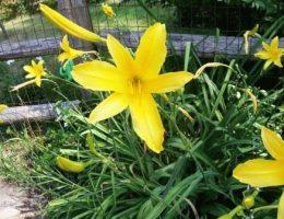 Лилейники – посадка и уход за цветами, размножение делением