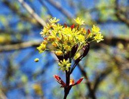 Acer platanoides Клен остролистный фото