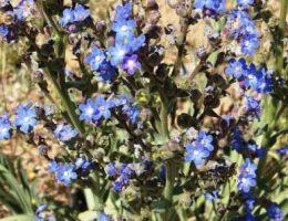 Анхуза (воловик) – фото цветов, посадка и уход в саду