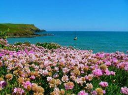 Армерия приморская цветы фото