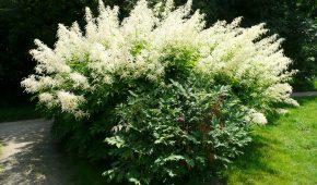 Миниатюра к статье Волжанка (Арункус) – виды, посадка и уход за цветами