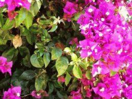 Bougainvillea Sanderiana Бугенвиллея голая Сандериана фото