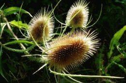 Дипсакус (ворсянка, ворсовая шишка) – выращивание в саду