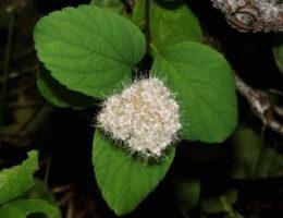 Посадка спиреи японской, размножение семенами и черенками