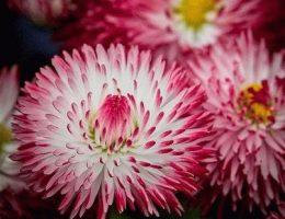 Habanera Маргаритка садовая сорта и фото цветов