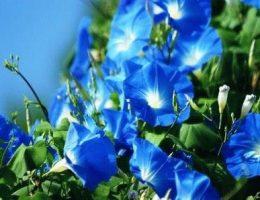 Ipomoea tricolor Ипомея трехцветная фото