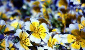 Миниатюра к статье Лимнантес – выращивание цветов из семян, уход в саду