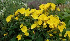 Миниатюра к статье Энотера (ослинник) – выращивание цветов, посадка и уход