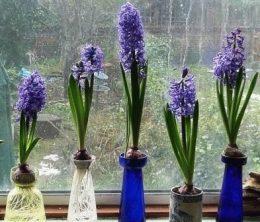 Ostara hyacinth сорт размножение детками