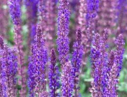 Шалфей – виды, уход, использование в дизайне сада