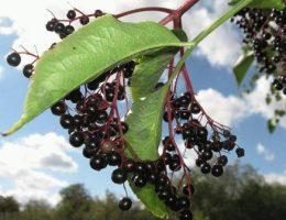 Бузина в саду – виды и сорта, посадка и уход