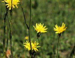Скорцонера цветы фото