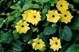 Тунбергия – виды цветка (крылатая, прямостоячая), выращивание в саду