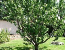 Выращивание абрикосов в средней полосе России, посадка и уход