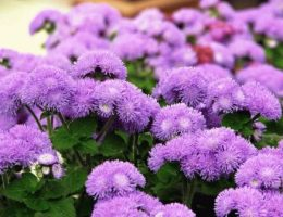 Агератум – выращивание из семян, уход за растением, фото