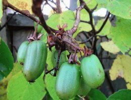 Актинидия: описание растения, полезные свойства ягод
