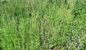 Миниатюра к статье Амброзия полыннолистная — цветущий аллерген, как бороться с ней