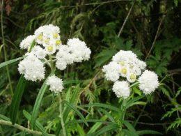 Цветок анафалис фото