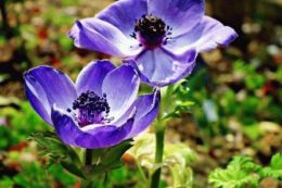 анемона ветреница цветок фото