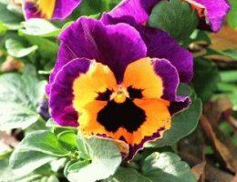 Анютины глазки (виола, фиалка Виттрока) – сорта, фото, описание