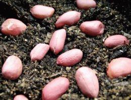 арахис выращивание на огороде фото