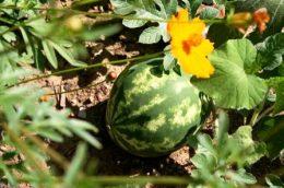 Новые ранние сорта арбузов для выращивания на даче