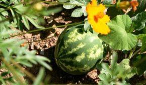 Миниатюра к статье Новые ранние сорта арбузов для выращивания на даче