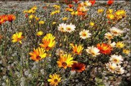 Арктотис – выращивание цветов в вашем саду