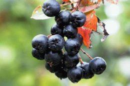 Арония черноплодная: сорта, выращивание, польза