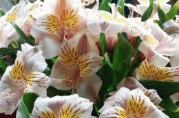 Азиатские гибриды лилии, сорта и фото
