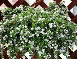 Бакопа – посадка и уход за растением