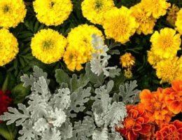 Бархатцы: выращивание, обрезка уход