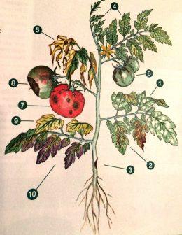 Болезни томатов как определить, картинка