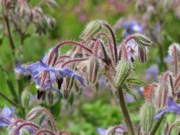 Огуречная трава бораго фото