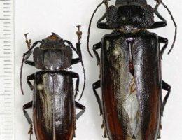 Борьба с жуком стригуном на огороде